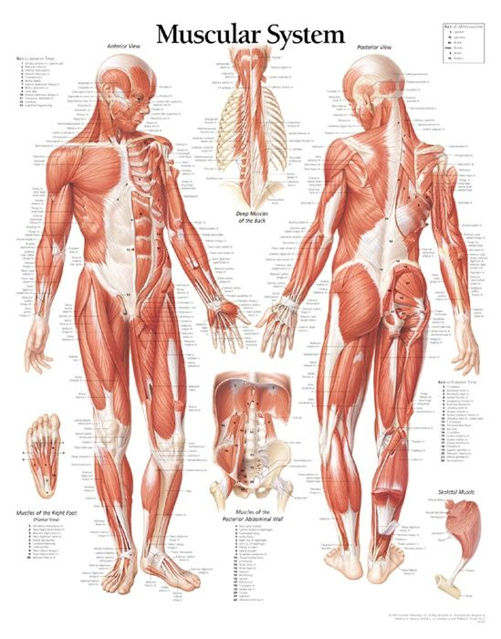 Muscular System Facts Functions Diseases Michael Yeanay