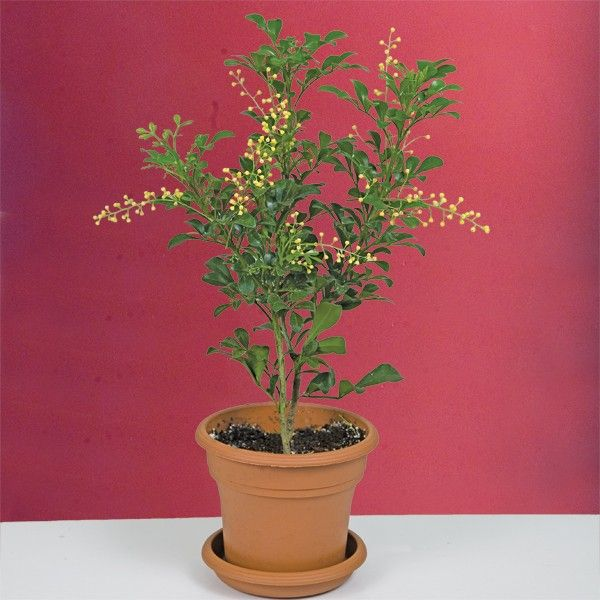 Chinese Perfume Plant (Aglaia odorata) - Tropical Plants for Indoor