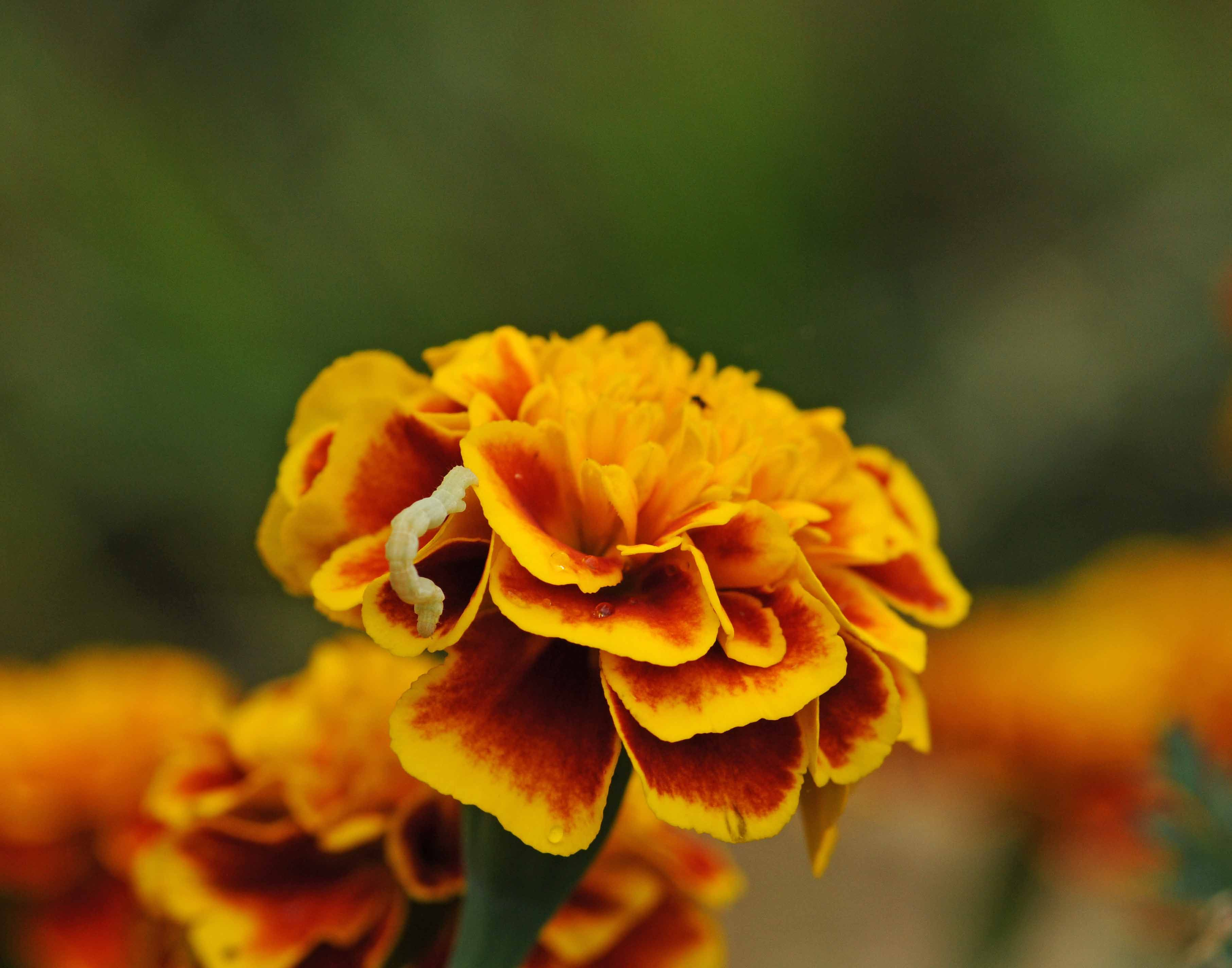 Inchworm on a Marigold Flowers, Plants, Garden