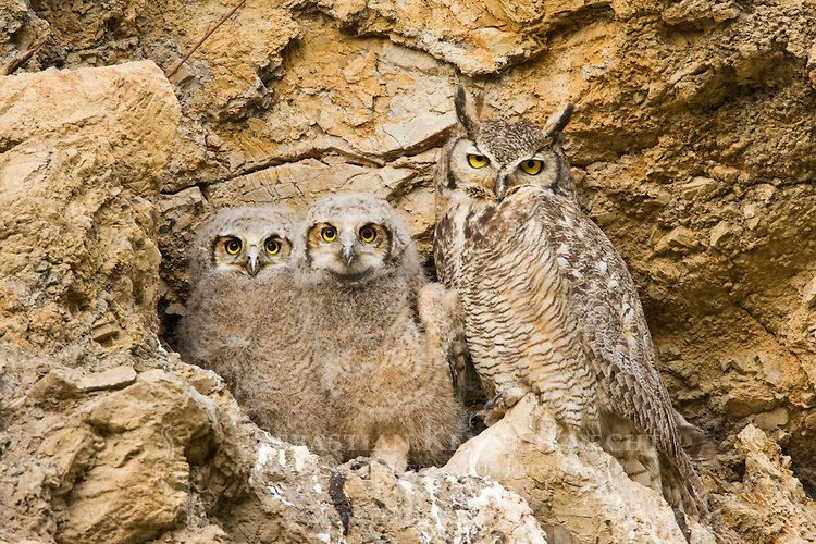 Great Horned Owl (Bubo virginianus) parent with owlets in