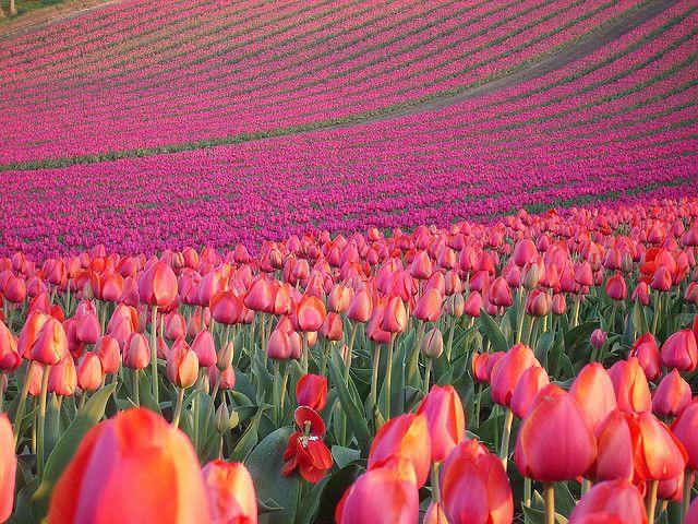 Pink Tulip Field Tulip Fields Tulips Beautiful Flowers