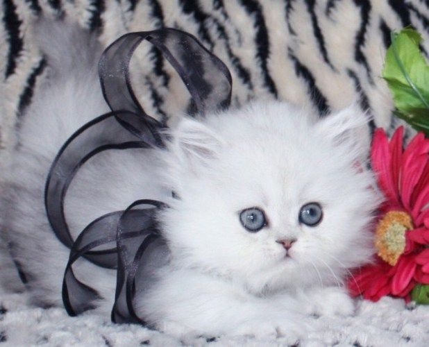 Top 10 Most Expensive Cats Persian Cat Doll Face Teacup Persian Kittens Persian Kittens