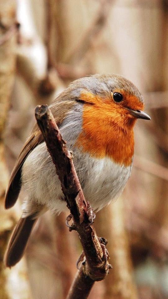 orange brown . birds . robin