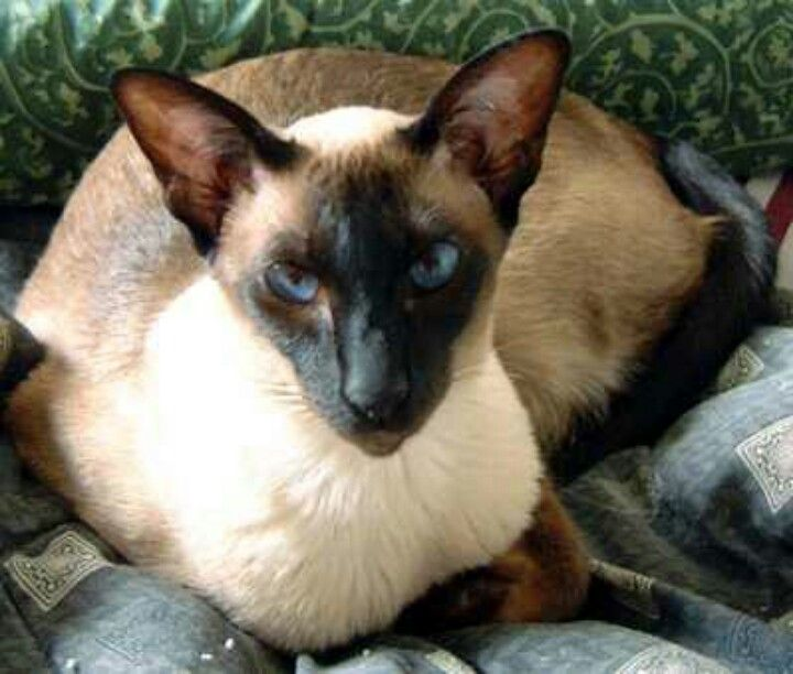 Pure Siamese Cat A True Siamese Its Very Noticeable With Large Ears And A Long Face These Cats Are Talkative And Tall Katten En Kittens Katten Mooie Katten