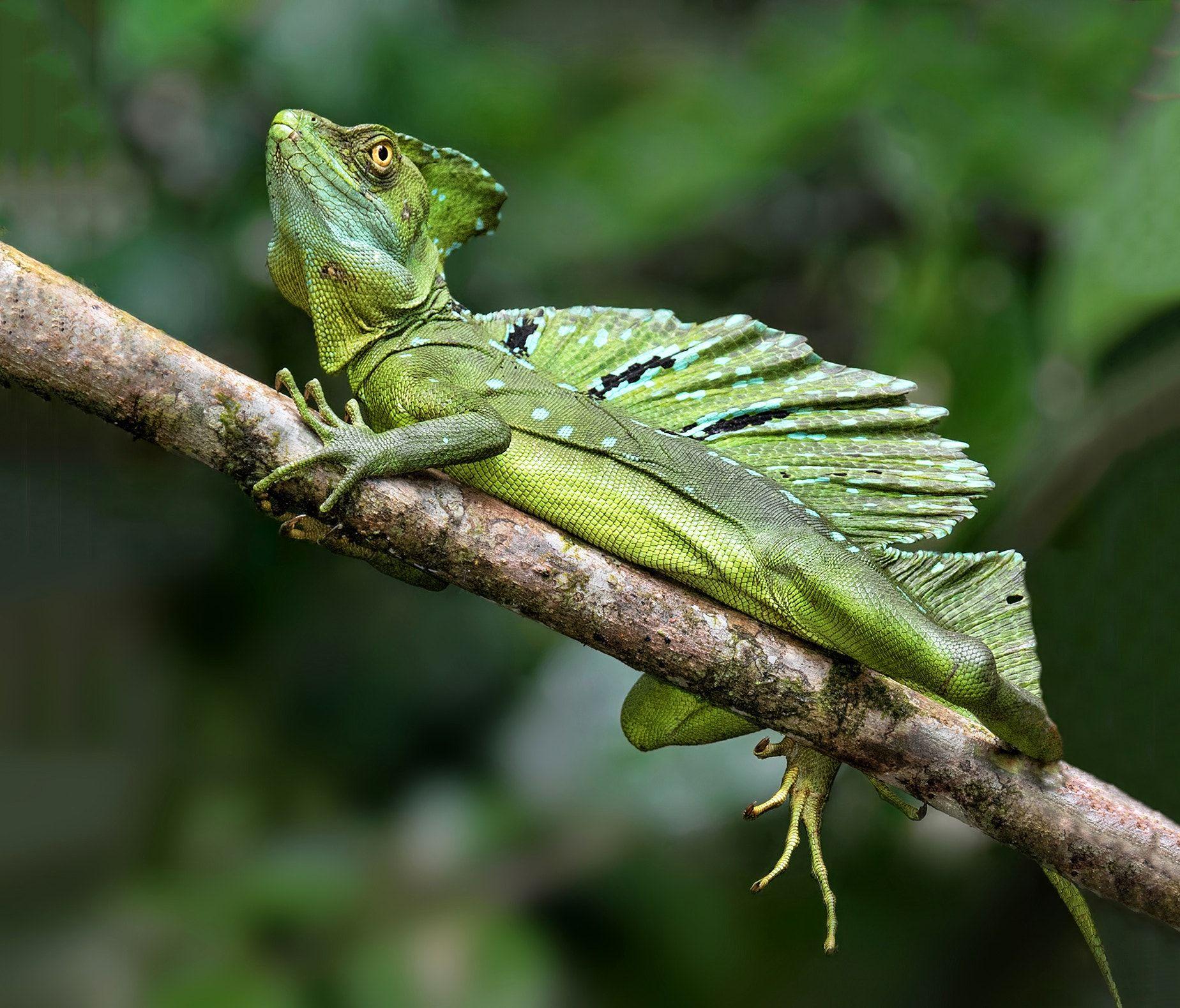 Green Basilisk Lizard #2 - This was another green basilisk ...