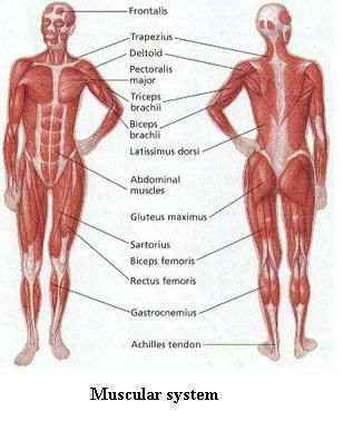 Muscular system chronic pain human body fitness muscle
