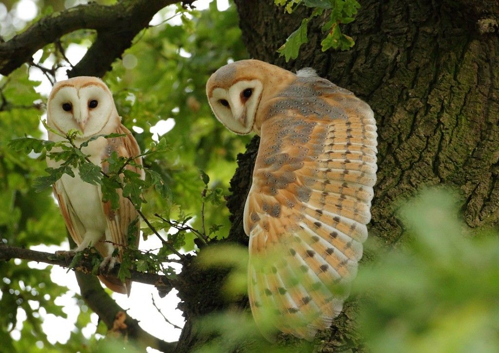 Barn Owls in an Oak tree, Suffolk, Englandby Mike Rae