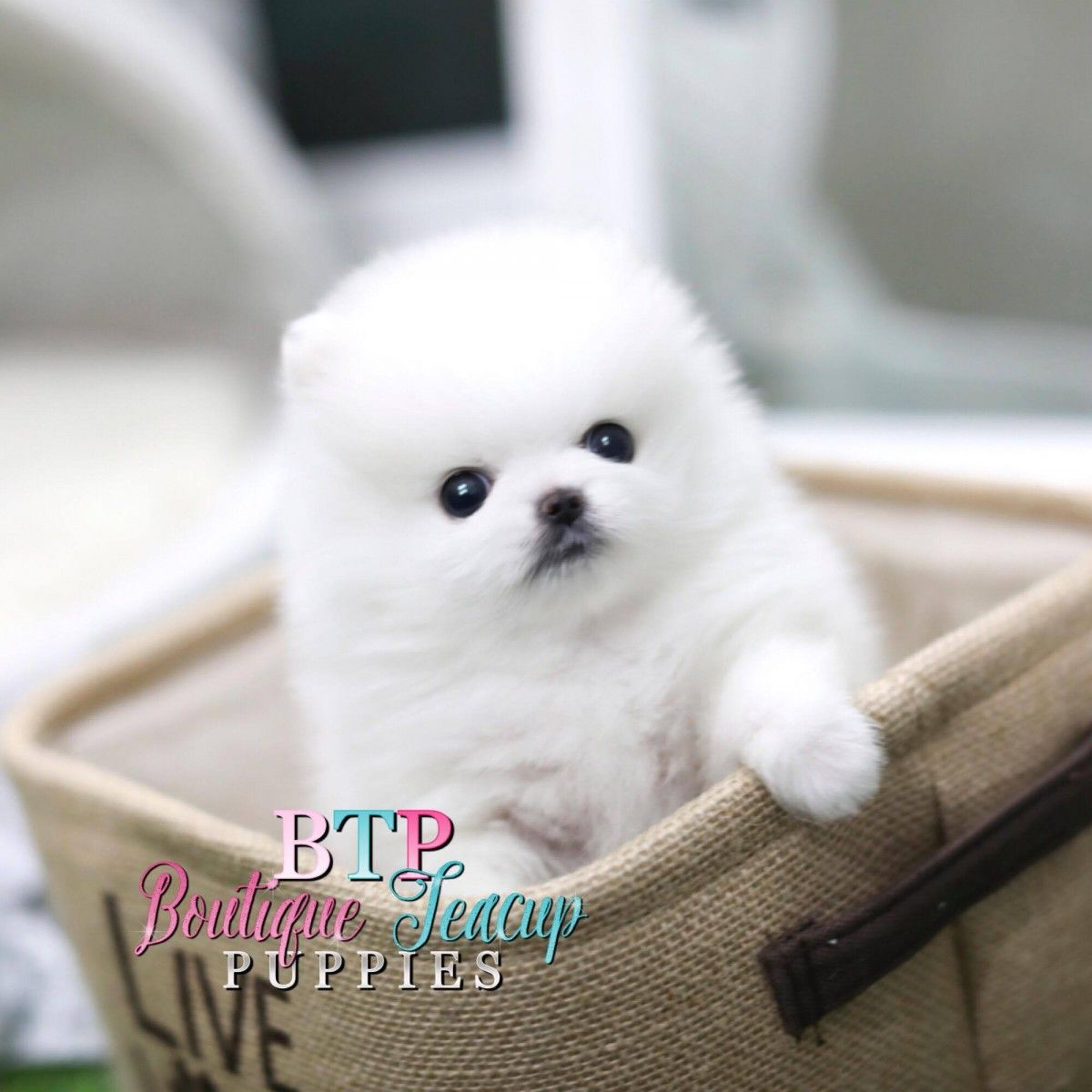Pocket Puppies & Cute Teacup Dogs For Sale  Welcome to the Home of Boutique Teacup Puppies    Our Promise to you:    	Luxury Quality Puppies with a History of Excellent Health  	Vet Check on all of our puppies prior to leaving our breeders care