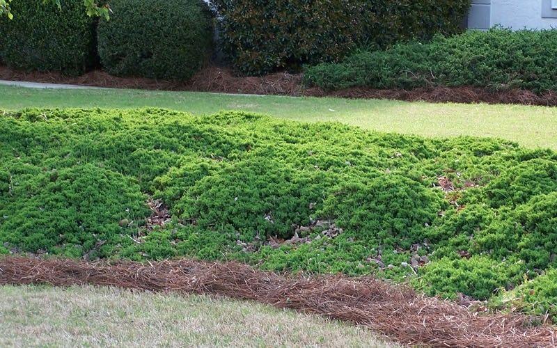 Green Mound Juniper Japanese Garden Juniper A Garden