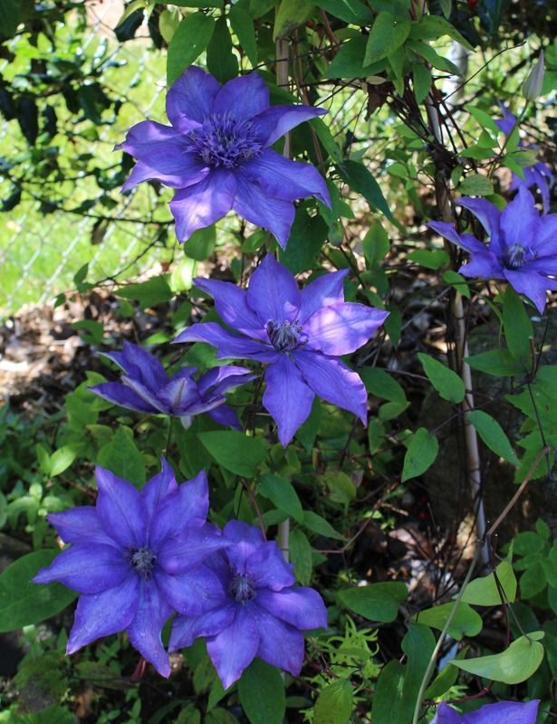 Perennial Vine Clematis Shikou Zone 4 8 Flowers Blue Violet Blooms 2 4 Weeks Late May Prefers Shaded Roo Part Shade Flowers Clematis Plants Clematis