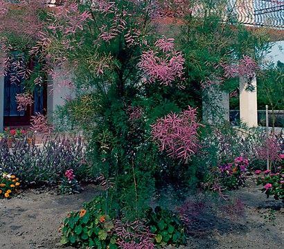 Fruhlings Tamariske Garten Pflanzen Fruhling Ziergarten