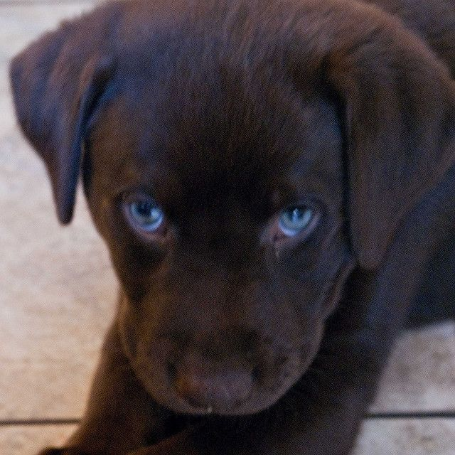 Black Lab Puppy With Blue Eyes Puppies With Blue Eyes Puppies