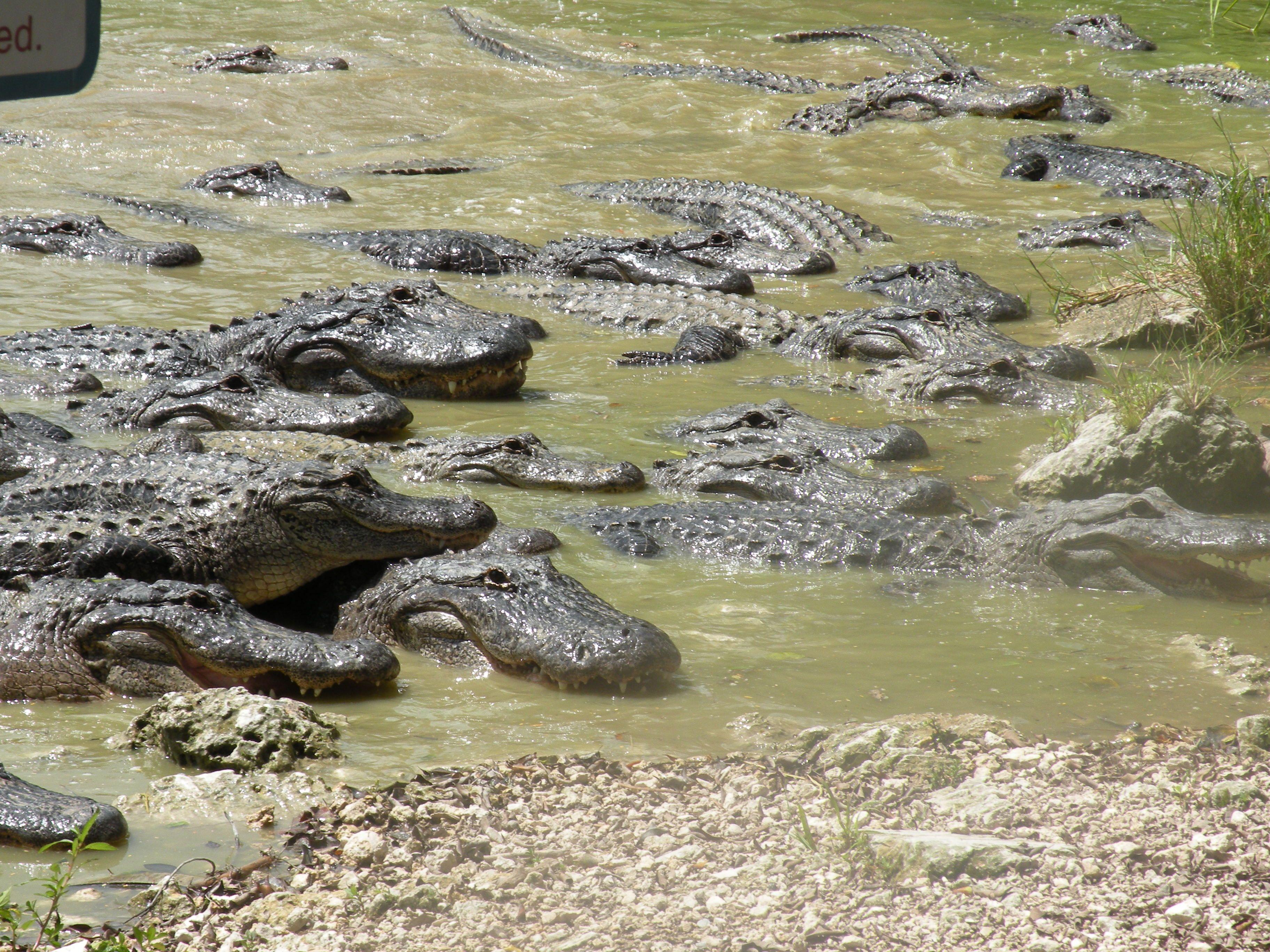 Gators in the Everglades.