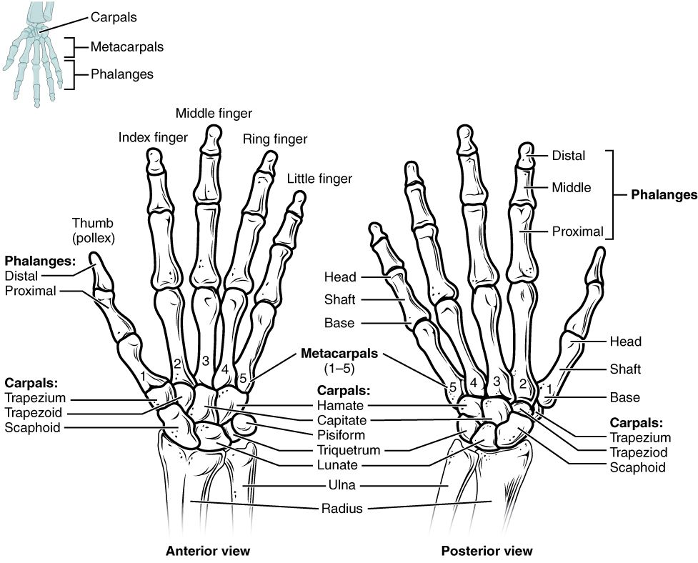 Anterior View And Posterior View Of Hand And Wrist Bones Diagram