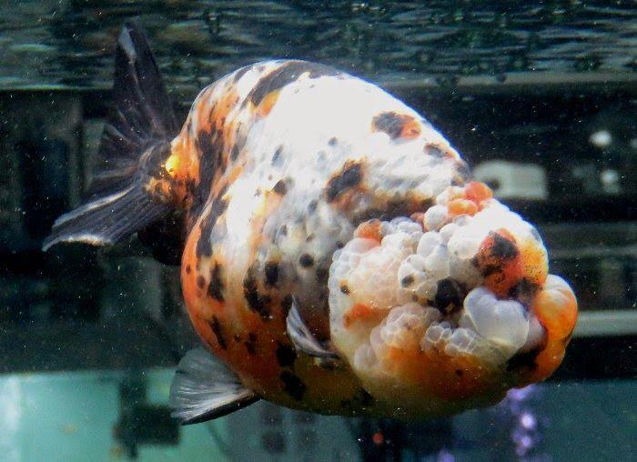 金魚快訊部落格Goldfish message blog