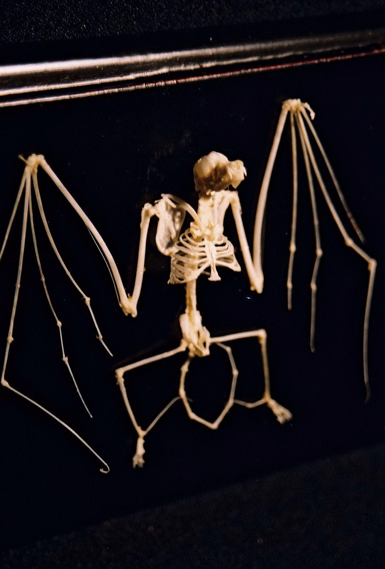 Bat wing skeleton - photo#53