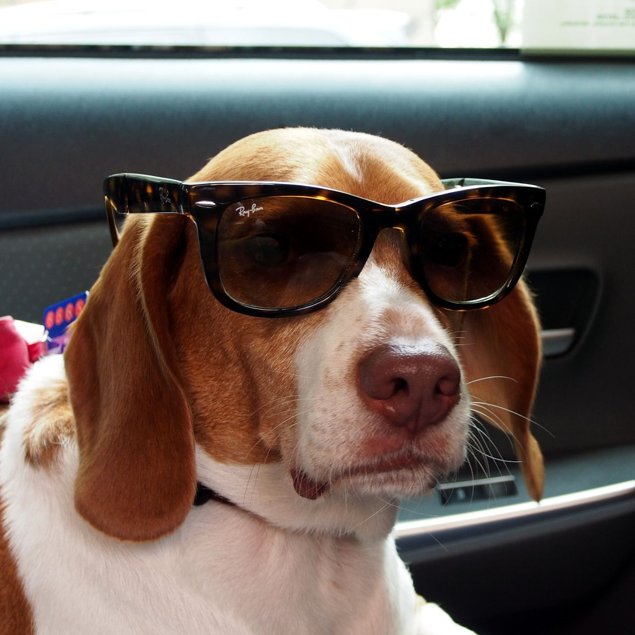 Cool Beagle Beagle Pocket Beagle Cute Puppies