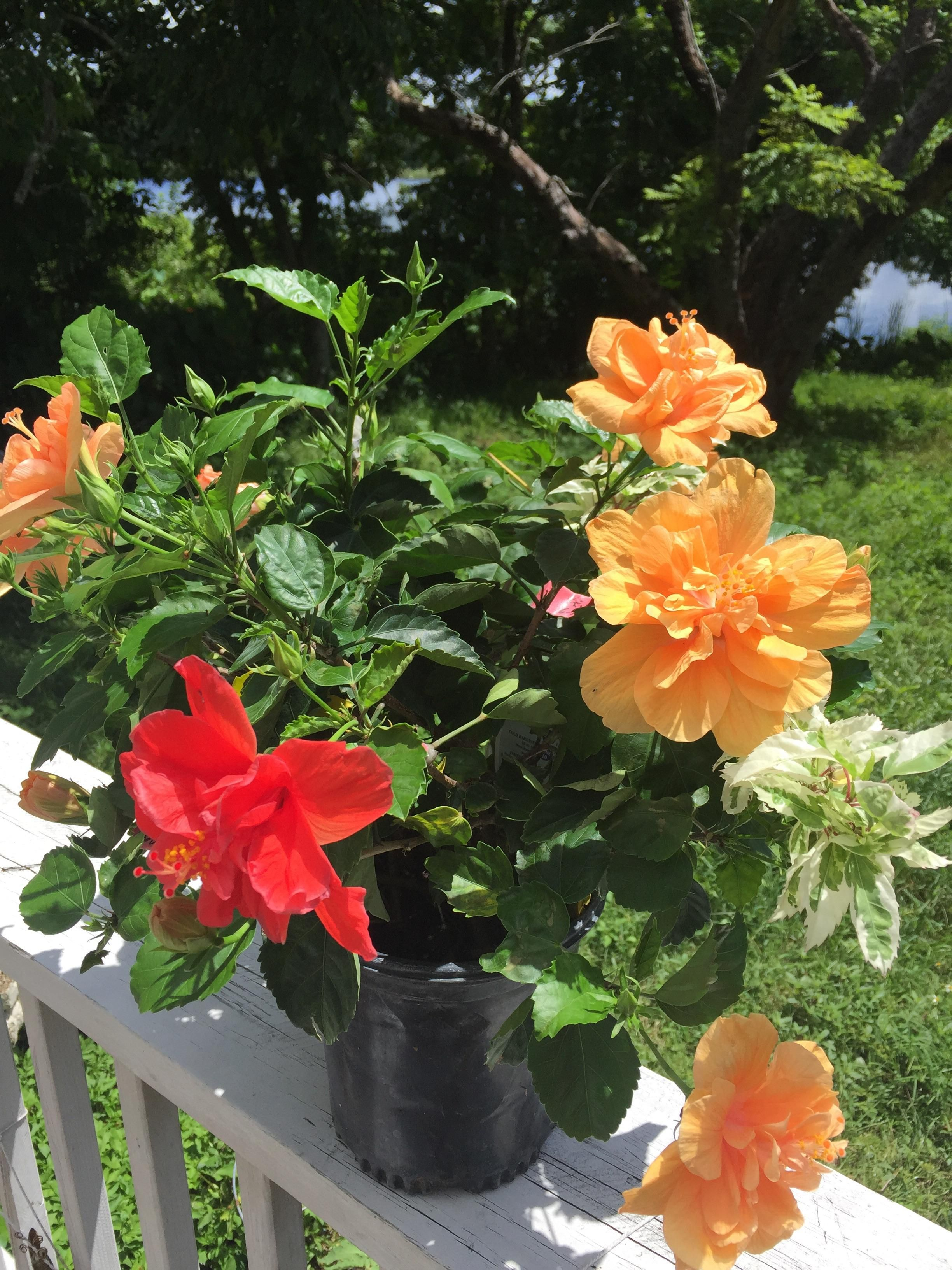 This hibiscus plant is a Frankenstein creation of different ...