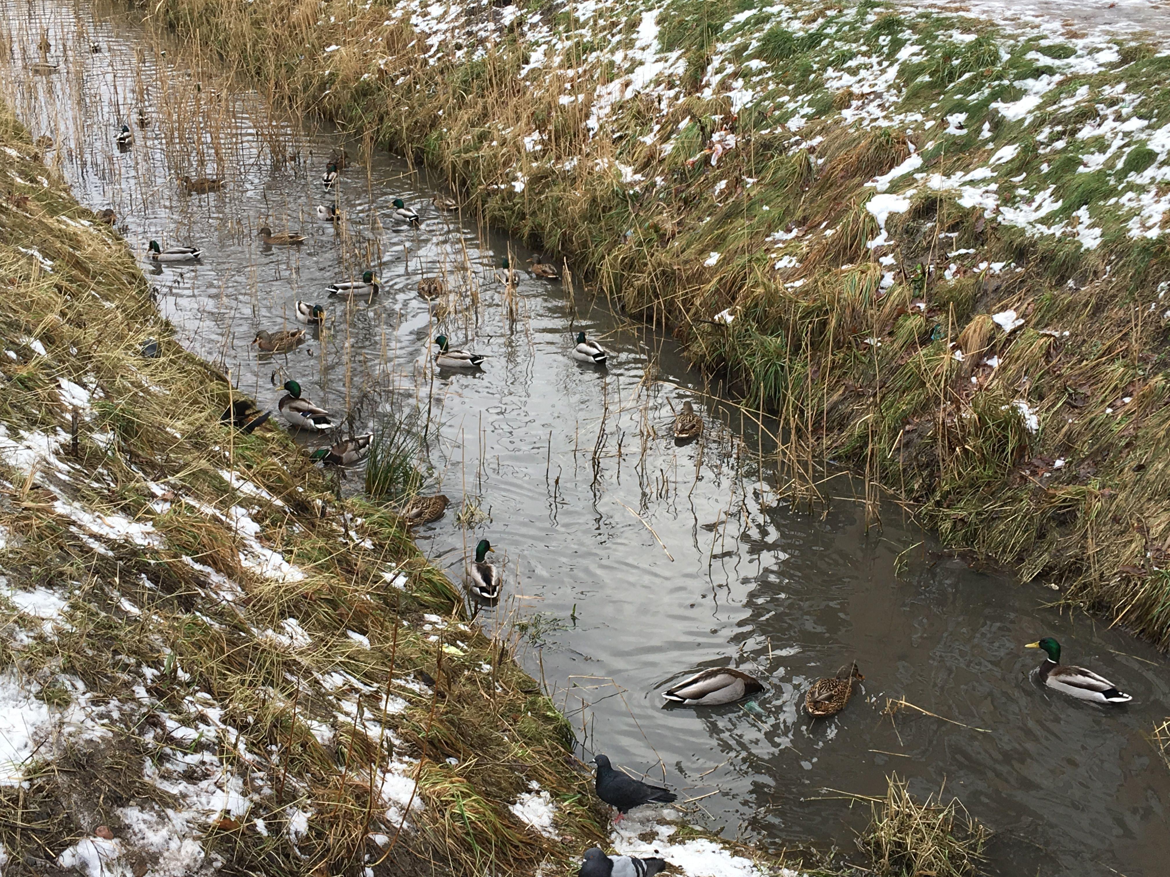 Утки в каналах