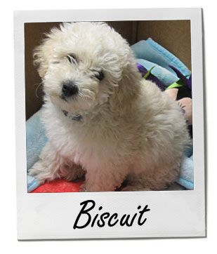 Entirelypets Online Pet Supplies Maltese Puppy Online Pet Supplies Pets