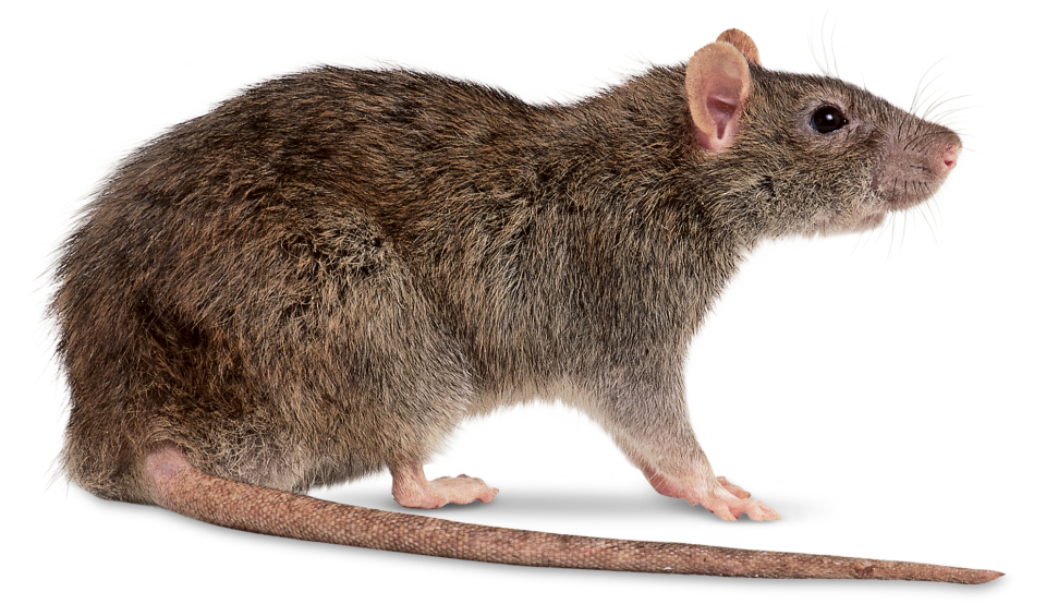 Rats such as the Brown Rat damage stored goods causing great monitary loss but can be avoided by Rat Control Blackheath.