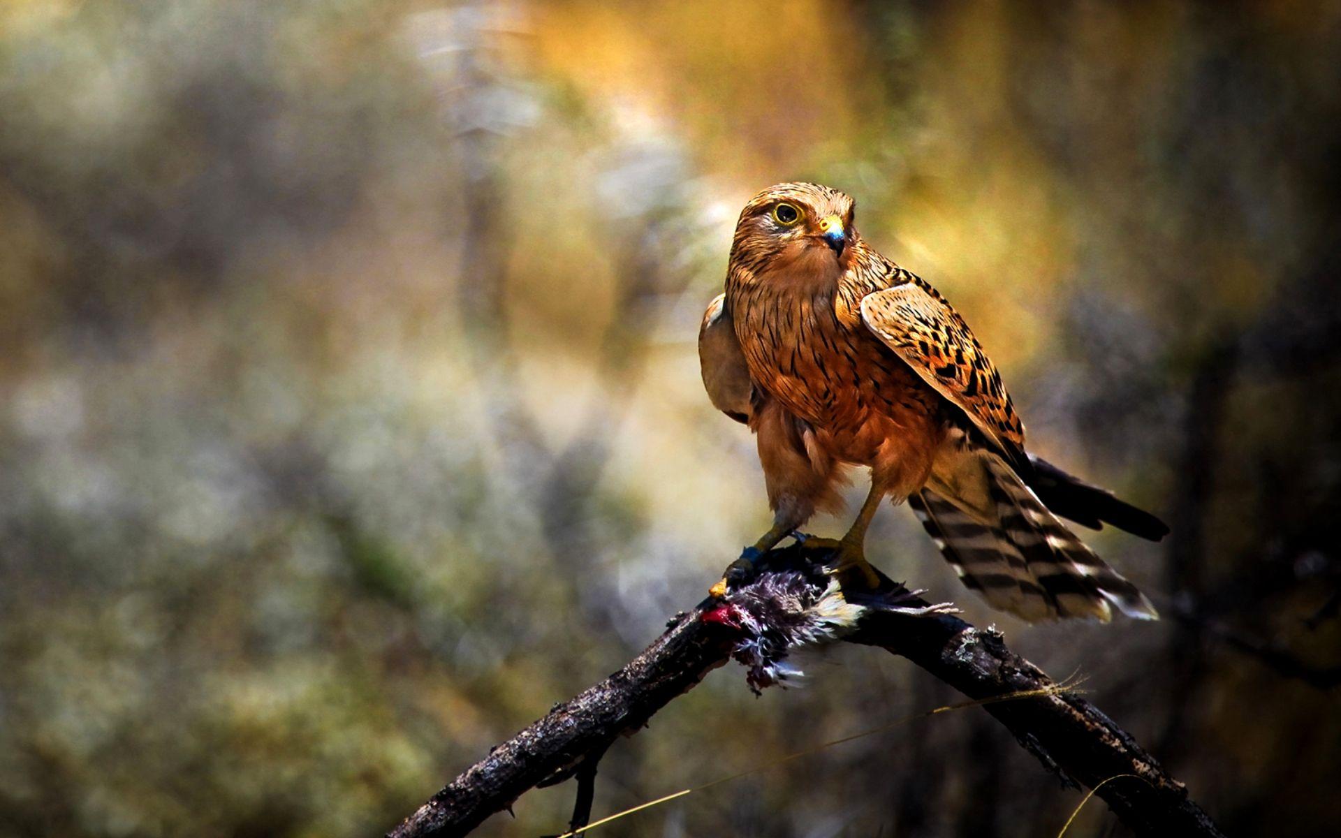 Hd Bird Of Prey Wallpaper Download Free 110905 Birds Of Prey Prey Canary Birds