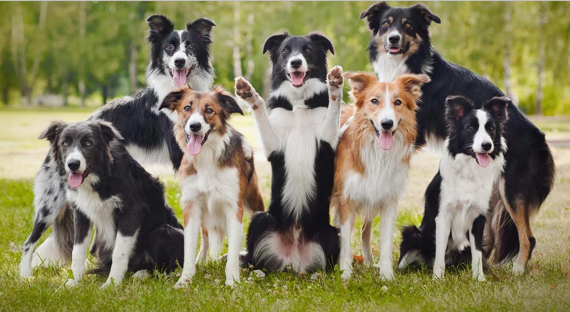 Lindos Border Collie S Beautiful Dogs Dog Breeds Border Collie Dog