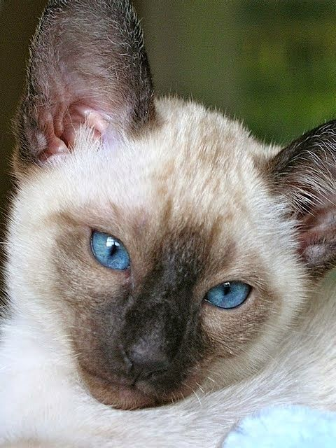 Carolina Blues Cattery Siamese Kittens For Sale Katten Siamees