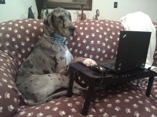Blue Merle Great Dane On The Computer Hahaha Merle Great Danes