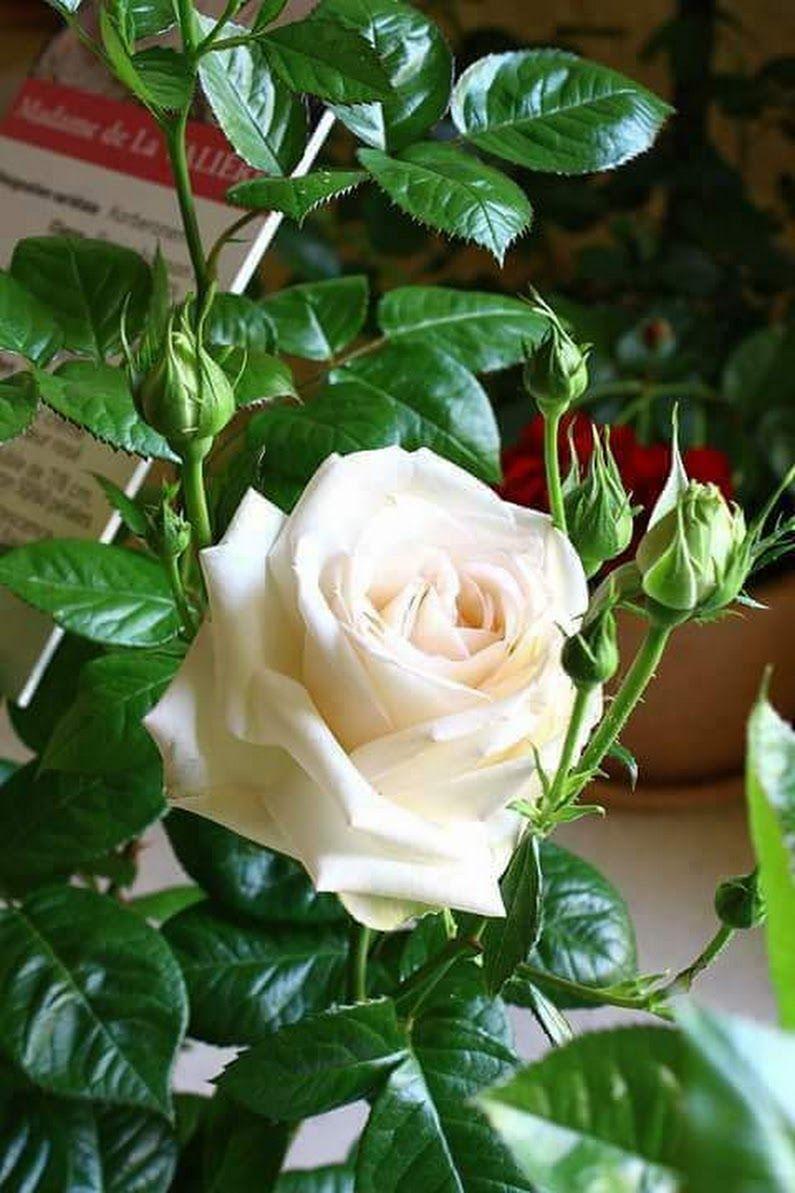 Boa Noite Rosas Brancas Rosas Belas Flores