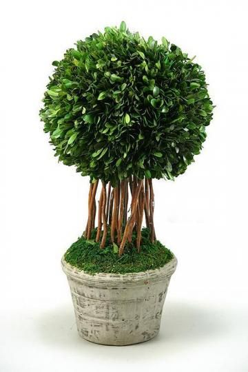 Preserved Boxwood Ball Topiary Preserved Boxwood Topiary Preserved Boxwood Boxwood Balls