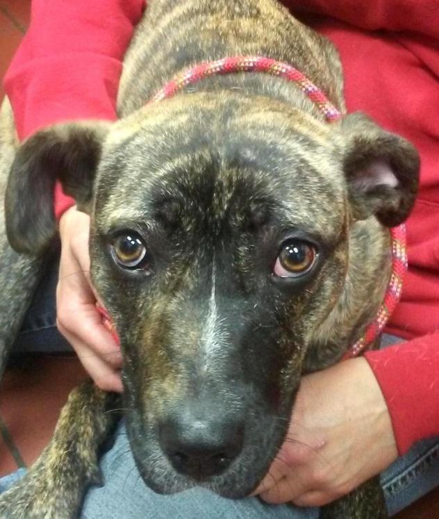 Adopt 02 Saben Adopted On Petfinder Pitbull Terrier Adoption Bull Terrier Dog
