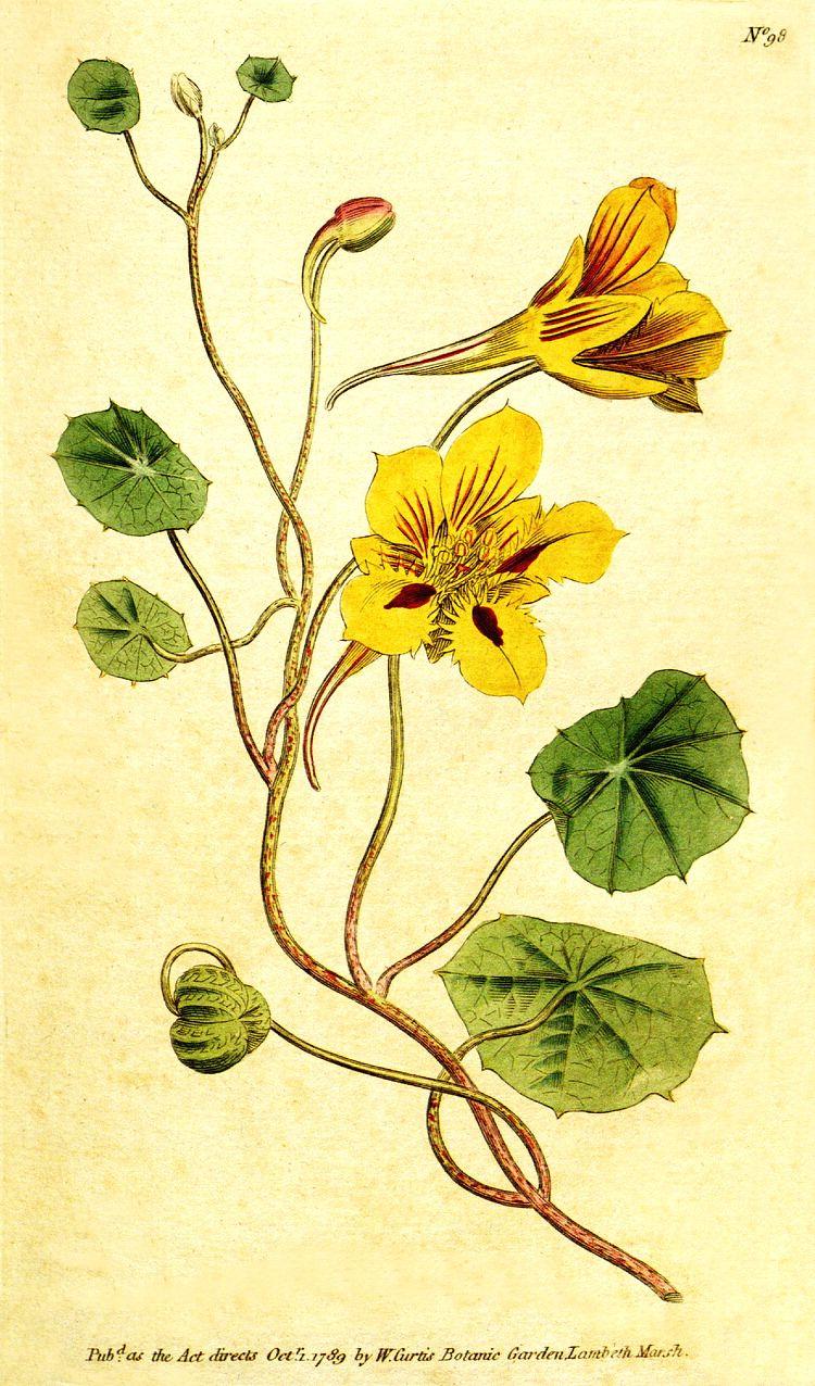Tropaeolum minus - W. Curtis - Botanic Garden (1789)