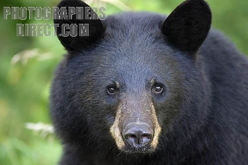 Print National Insurance Number >> Black Bear close up of its face making eye contact in ...