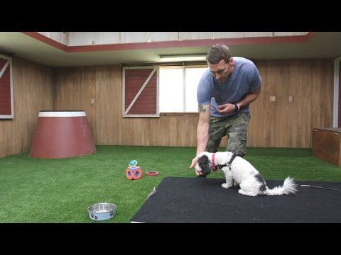 Olive S Training Goes From Normal To Advanced Dogs Therapy