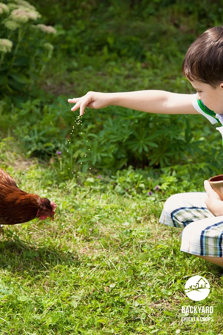 keep your backyard chickens satisfied by feeding them a well