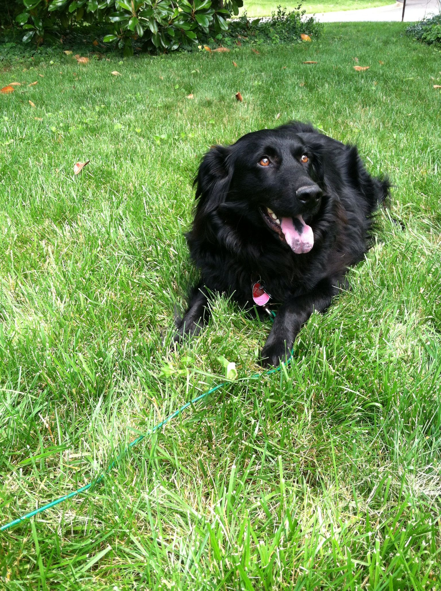 Bear Our Flat Coated Retriever Border Collie Mix Sleeping Dogs Raining Cats And Dogs Dogs