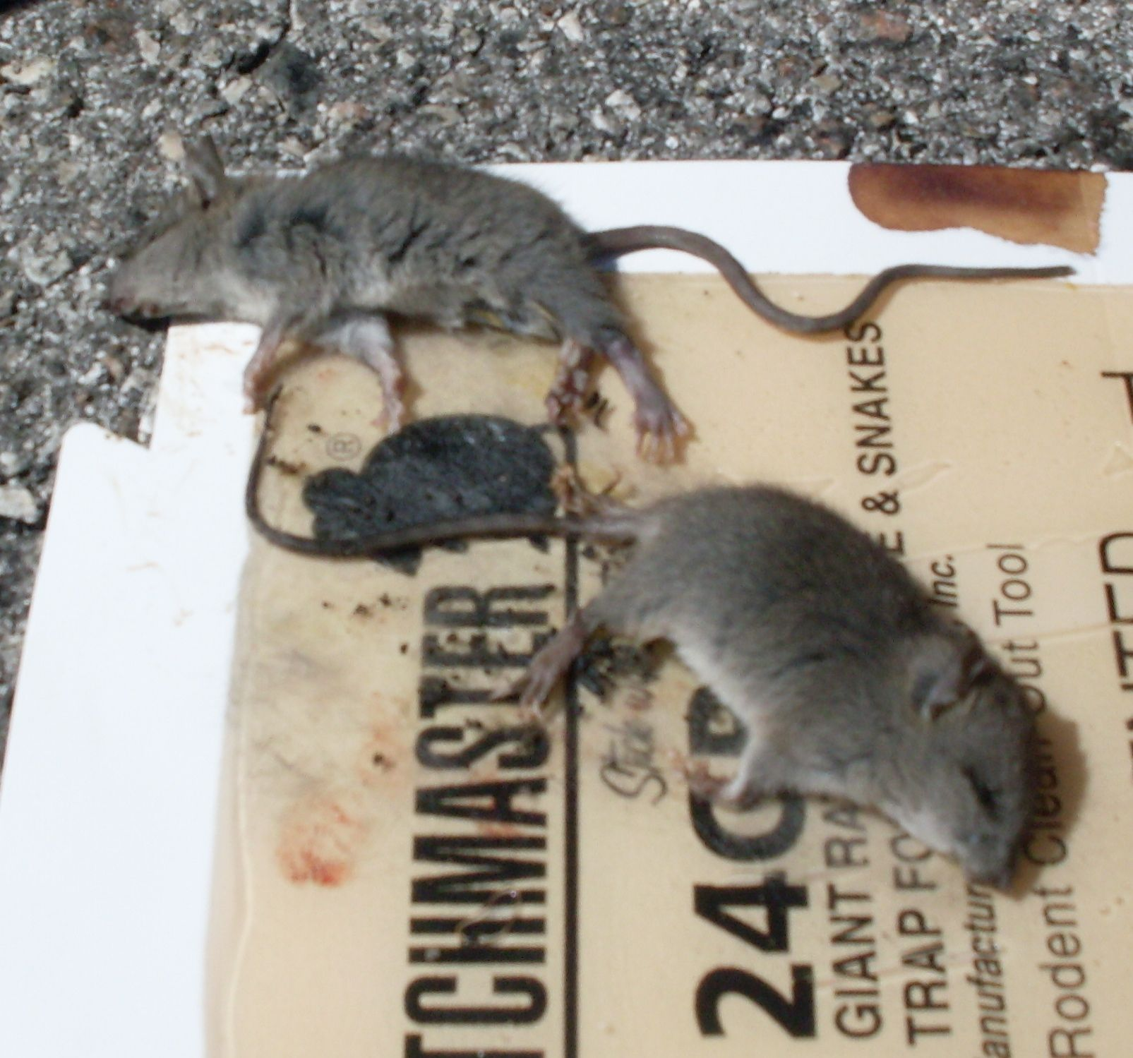 How To Get Rid Of Rats In The Attic Rodent Trapping