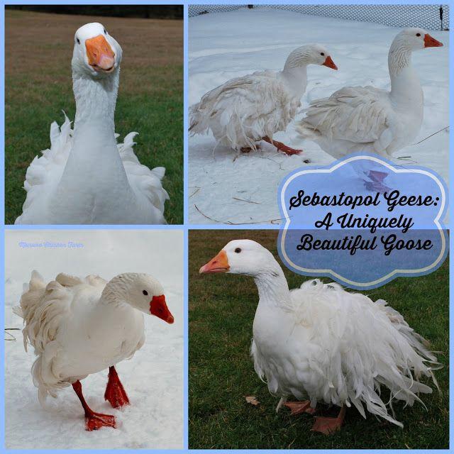 Sebastopol Geese: a goose in a dress! | Sebastopol geese ...