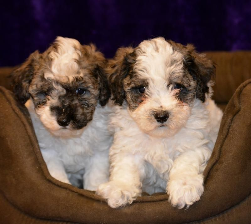 Poochon Puppies Designer And Cross Breed Puppies For Sale