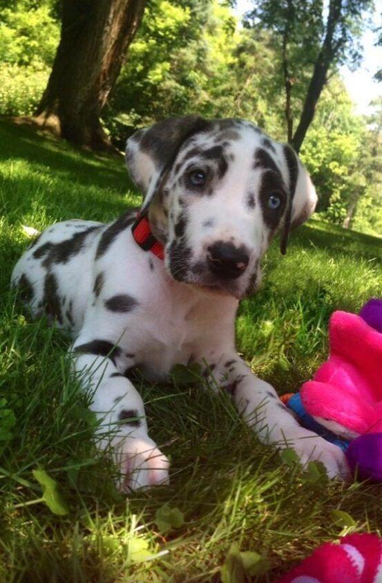 Great Dane Puppy So Cute Dane Puppies Great Dane Puppy