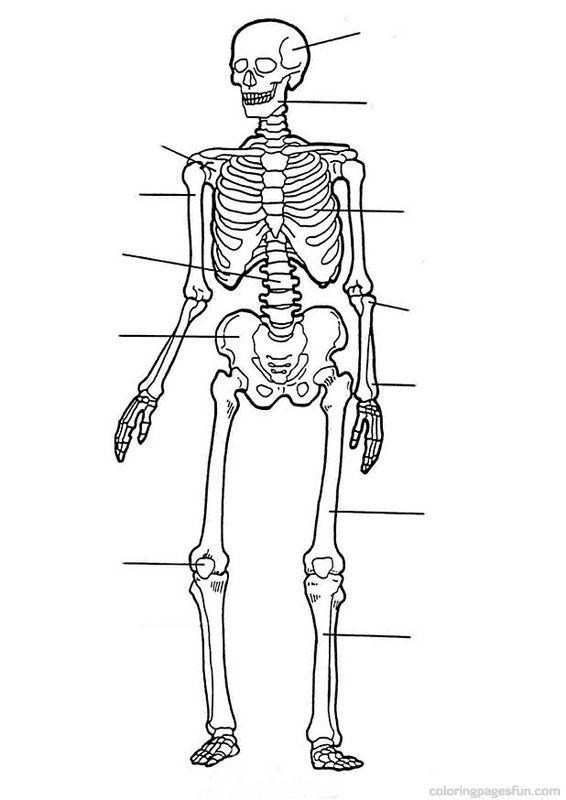 free axial skeleton coloring pages - photo#15