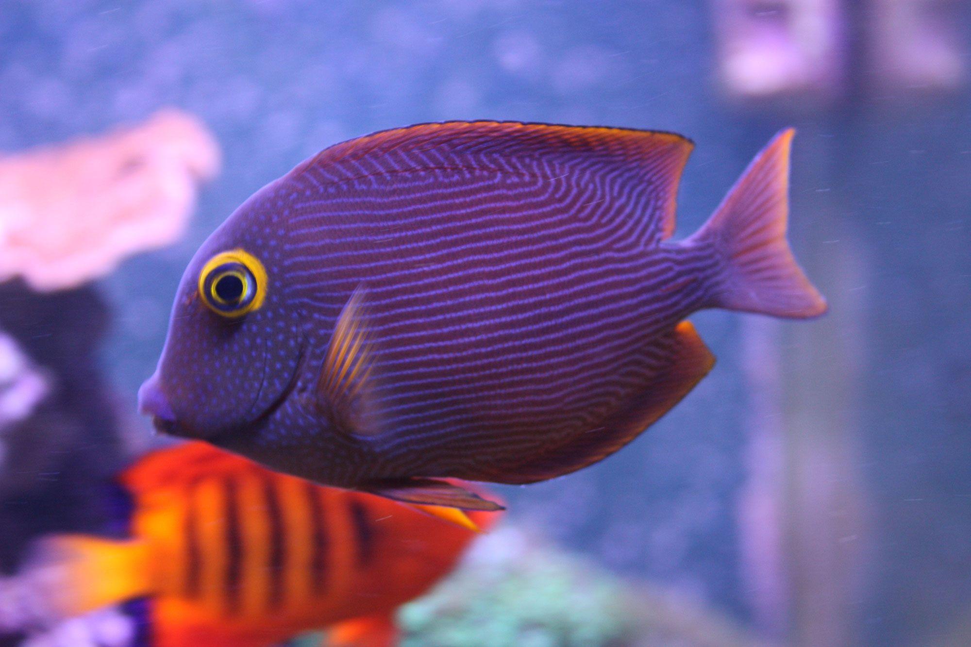 Kole Tang | Re: Kole Tang | Fish-T | Pinterest | Fish ...