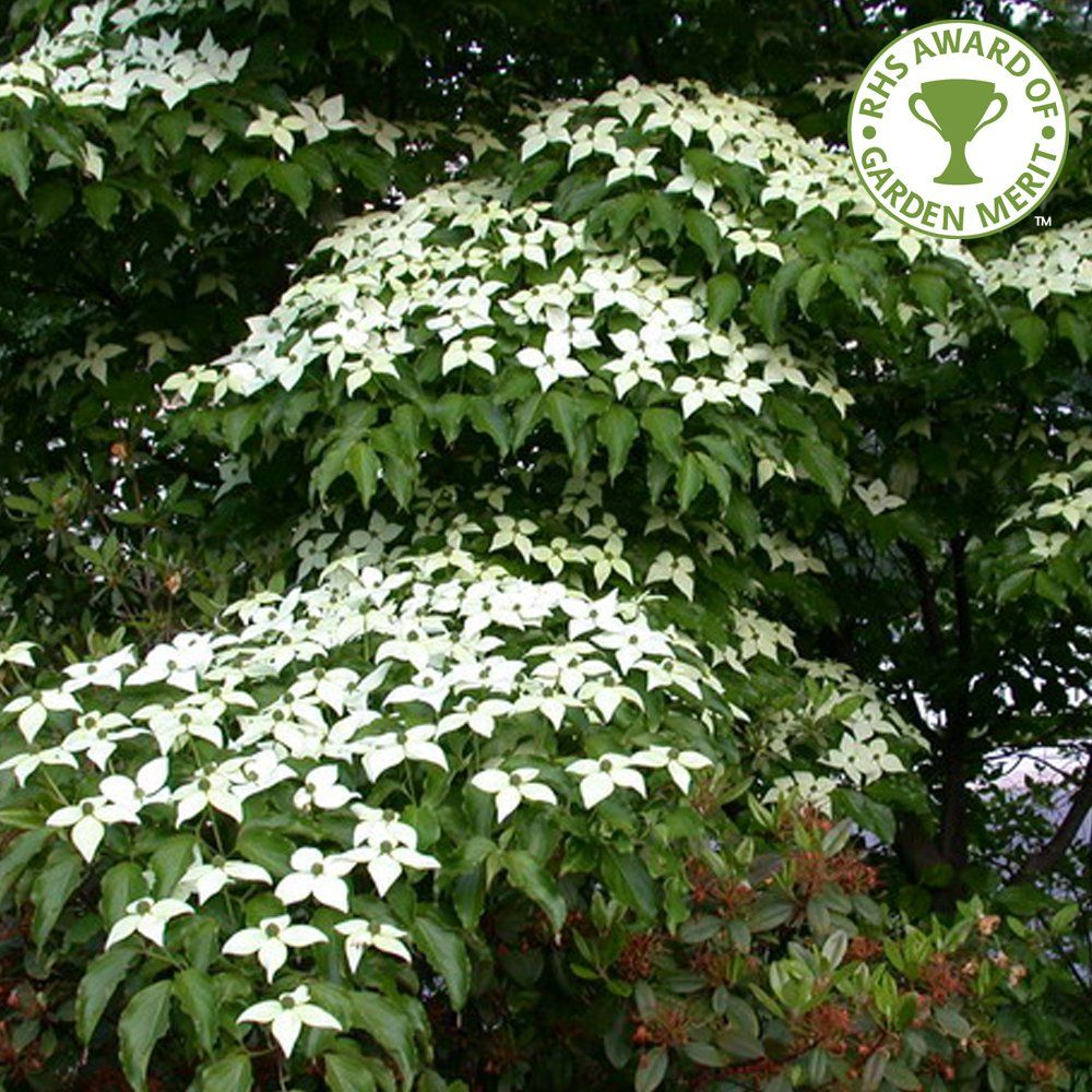 cornus kousa chinensis white flowering chinese dogwood. Black Bedroom Furniture Sets. Home Design Ideas