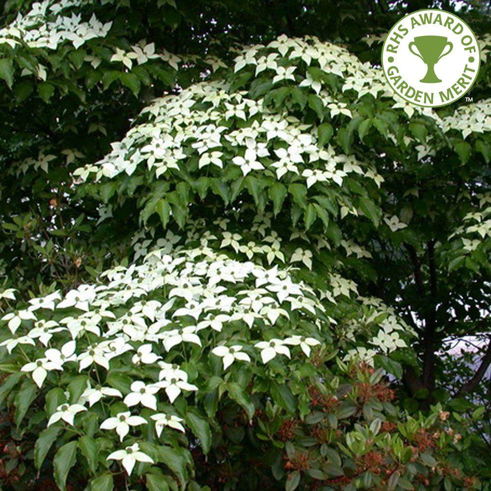 Cornus kousa var. chinensis Tree Dogwood trees, Shade