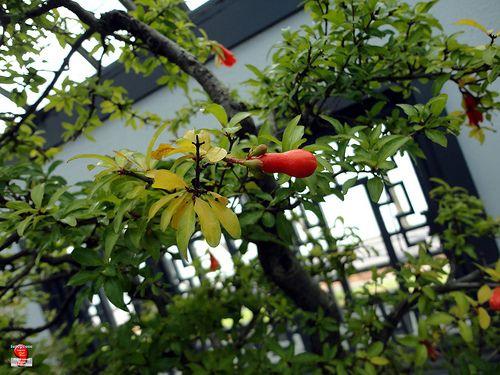 Bonsaï & Penjing - Pomegranate - Punica granatum Nana - Punicaceae - Created at Jardin botanique de Montreal - 25 years old SC20121013 181
