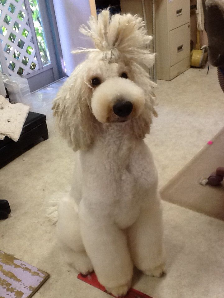 My Standard Poodle Yolo Ion Asian Style With Corded Head