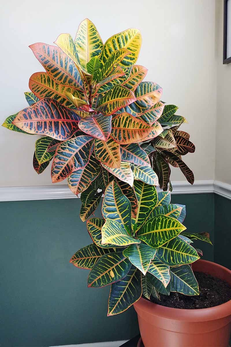 How To Cultivate Croton Plants Indoors Gardener S Path Plants Indoor Plants Croton Plant Care