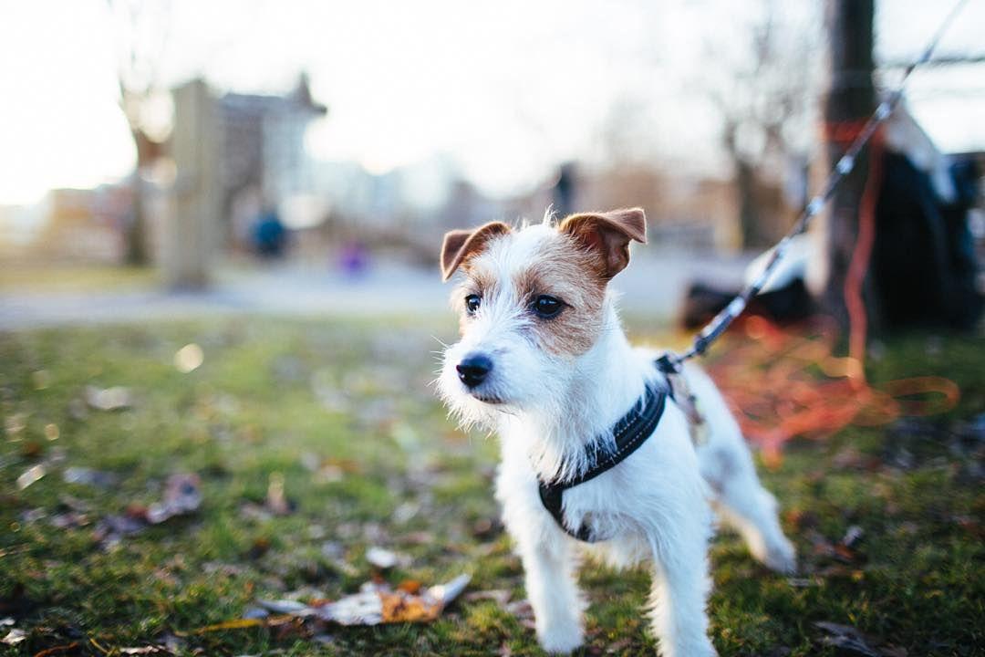 Den här lilla tufsiga! #kringlan  #vscocam #vscovisual #vsco_sweden #jackrussellsofinstagram #dogsofinstagram #instadog #itsadogslife #puppylove #lifestylephotography #justgoshoot #createexploretakeover #petstagram