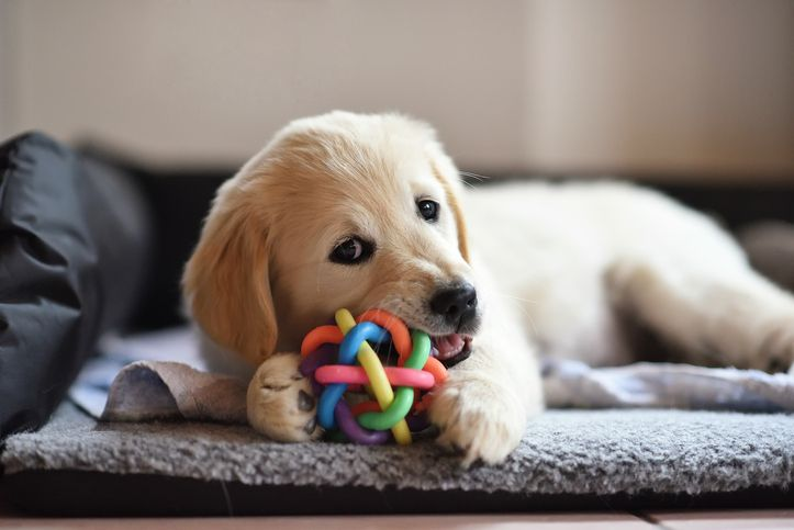 How to Train Your Dog to Stop Chewing Puppy teething